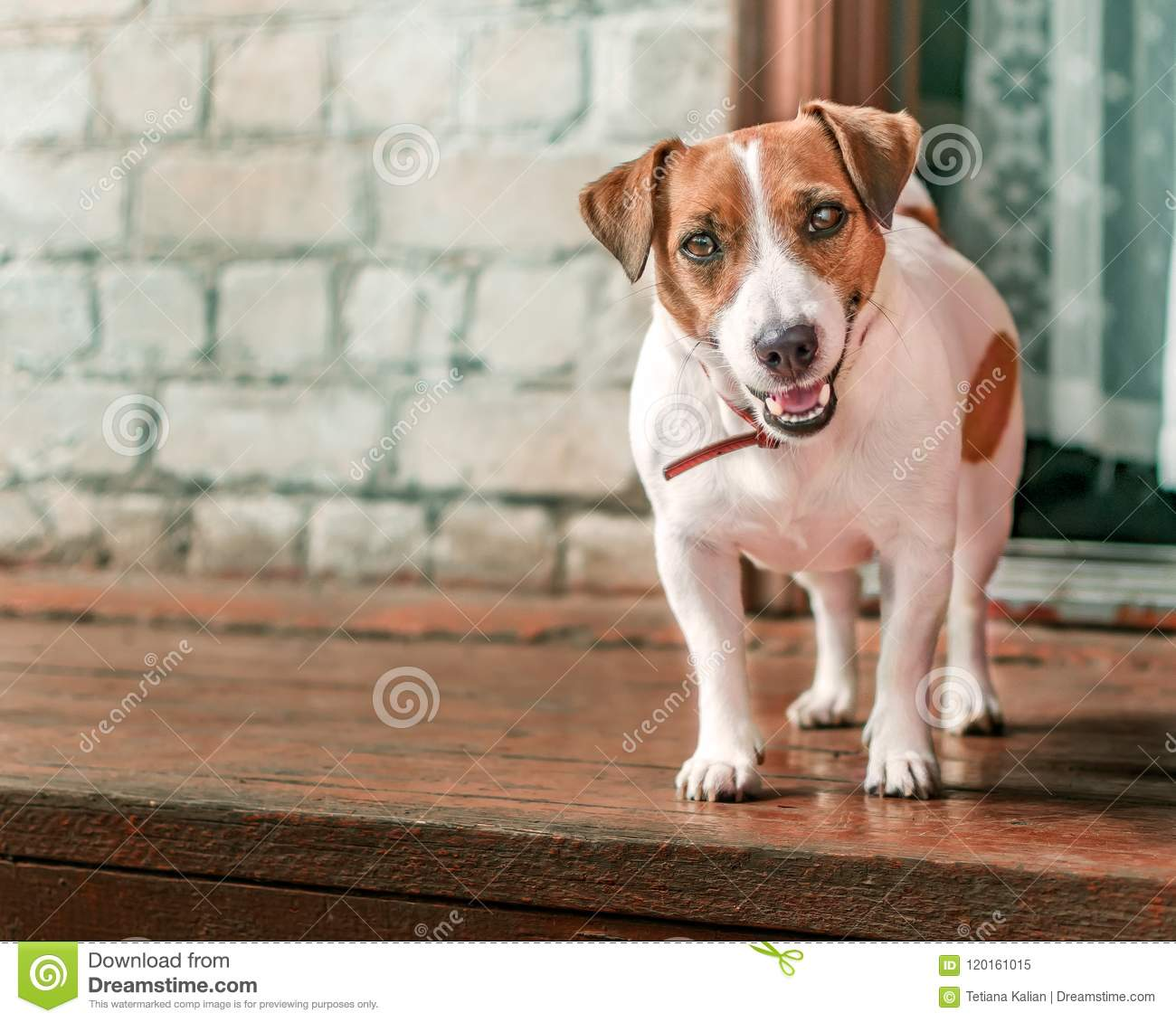 Front portrait of small cute happy smiling dog jack russel terrier standing outside on wooden porch of old brick house next to ope