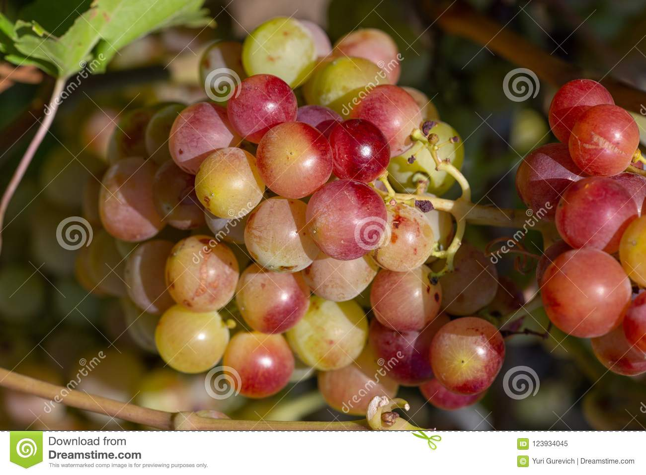 A Front Selective Focus Picture Of Grape Fruit In Organic ...