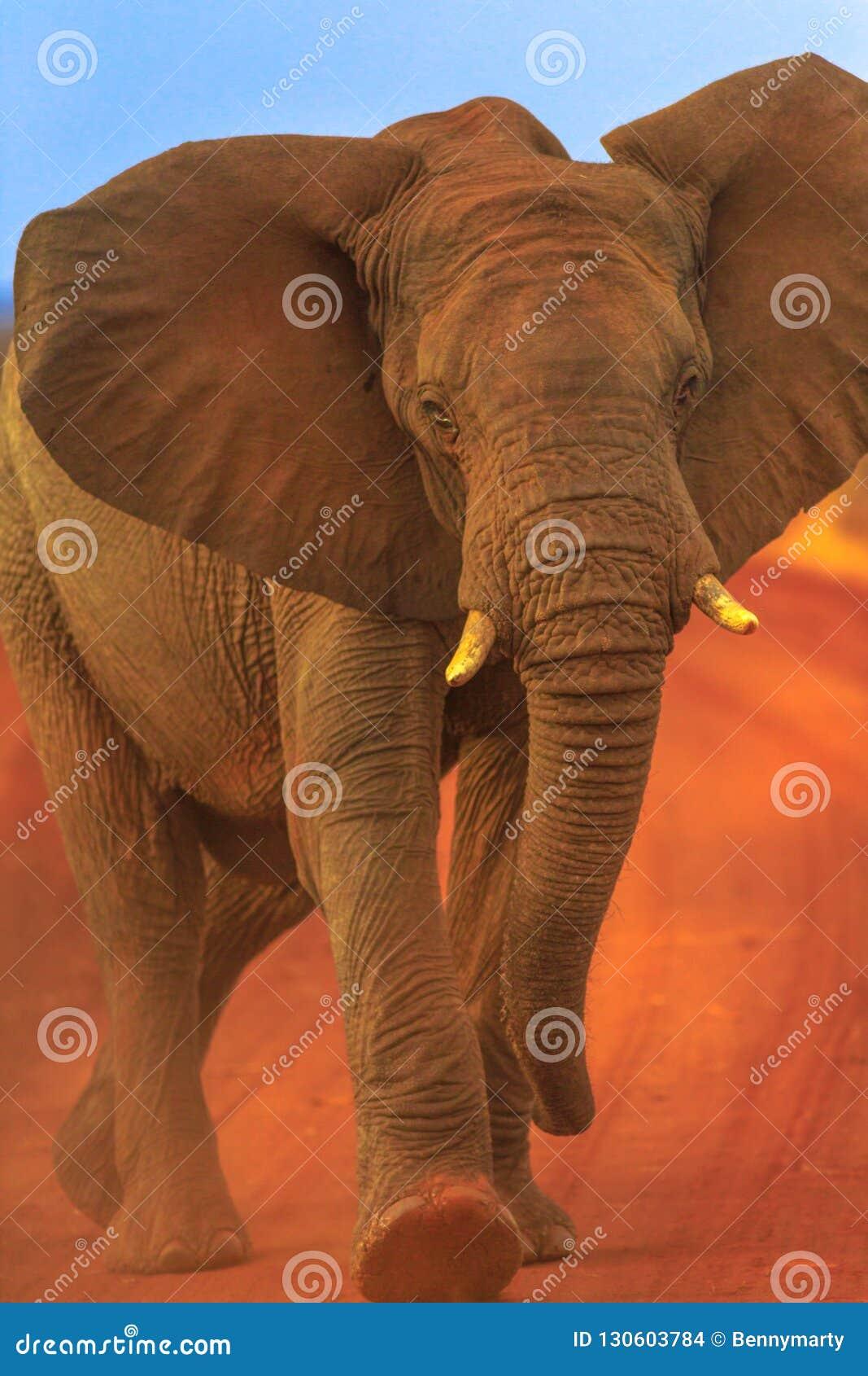 African Elephant on red desert