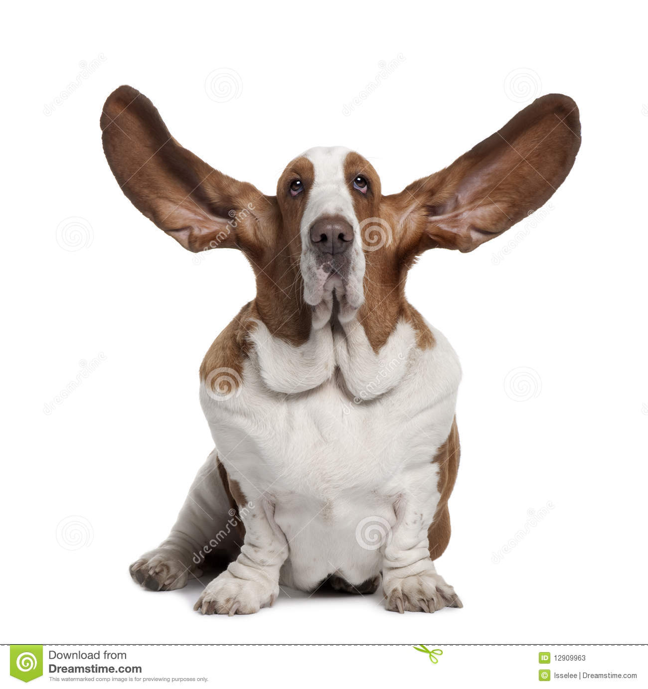 Front View Of Basset Hound With Ears Up, Sitting Stock Image - Image ...