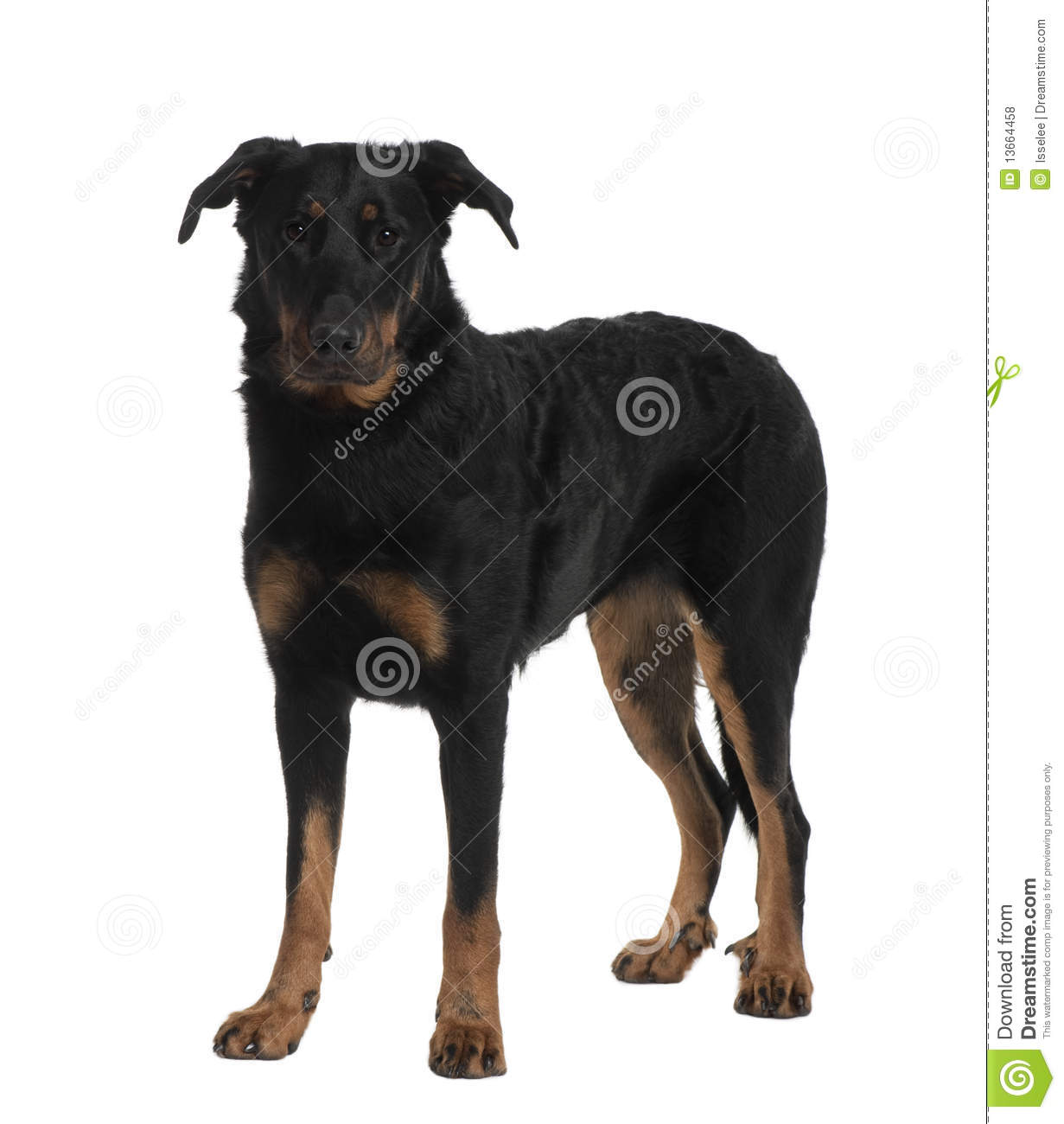 Front view of Beauceron, standing
