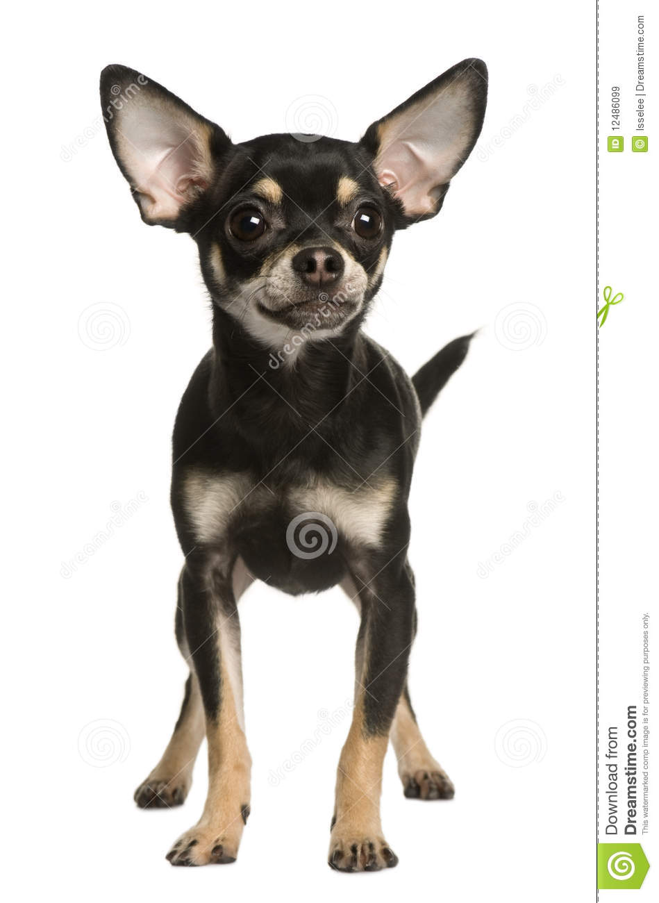 front view of chihuahua dog standing royalty free stock