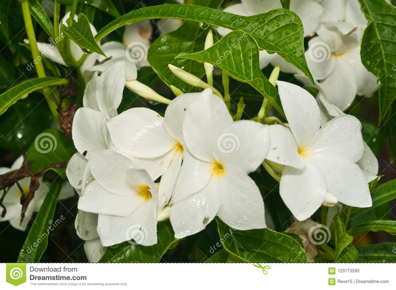 Macro Of Blooming White Tropical Flowers At Farmers Market Stock