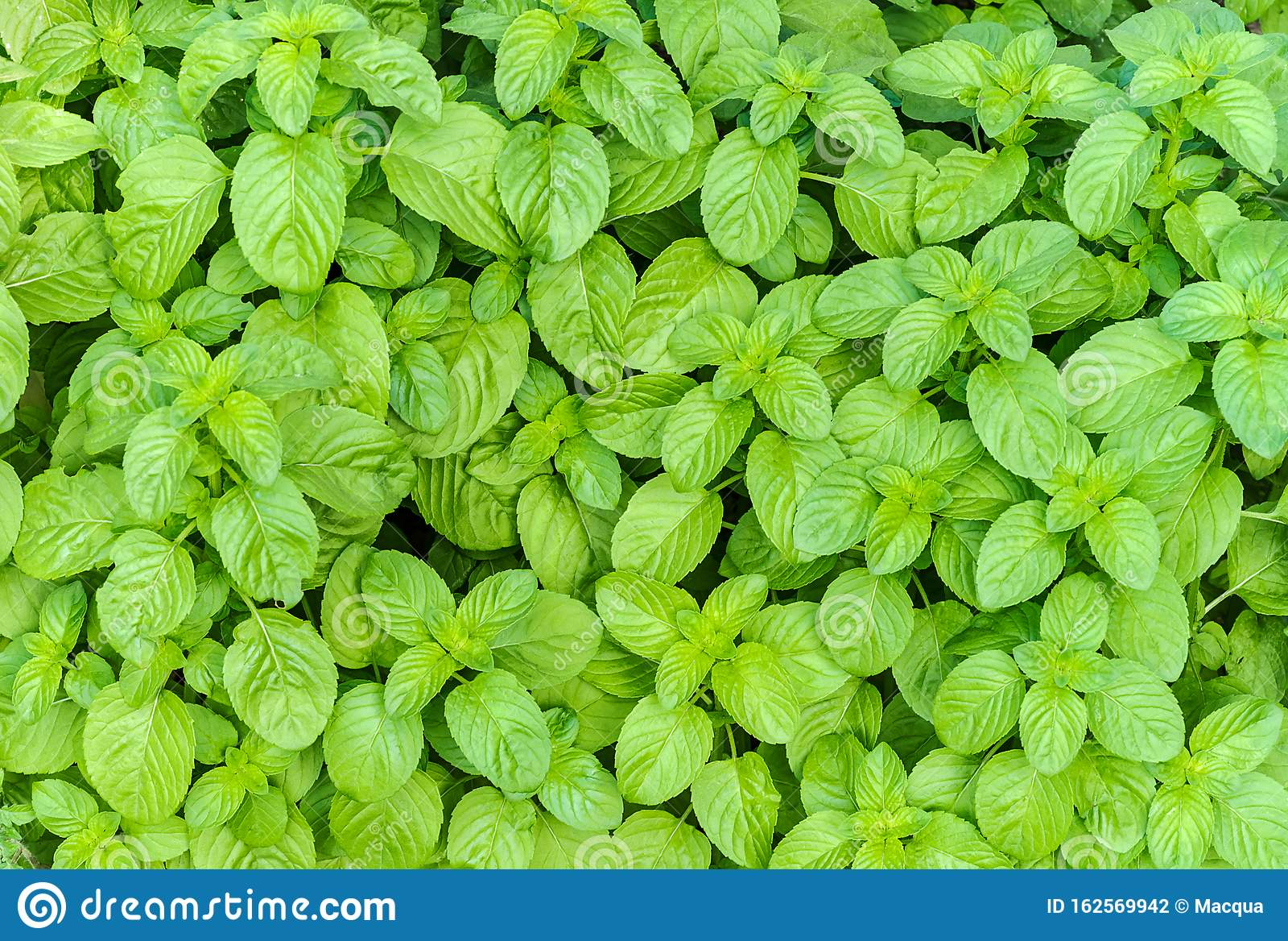 Top view of cultivation of organic mint