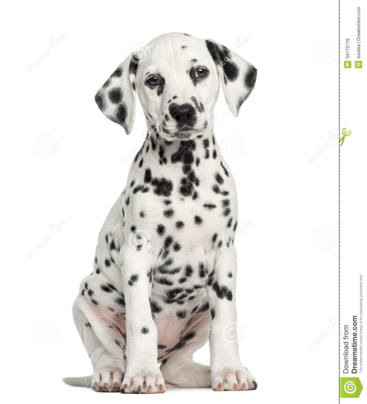 Where to find a dalmation puppy?