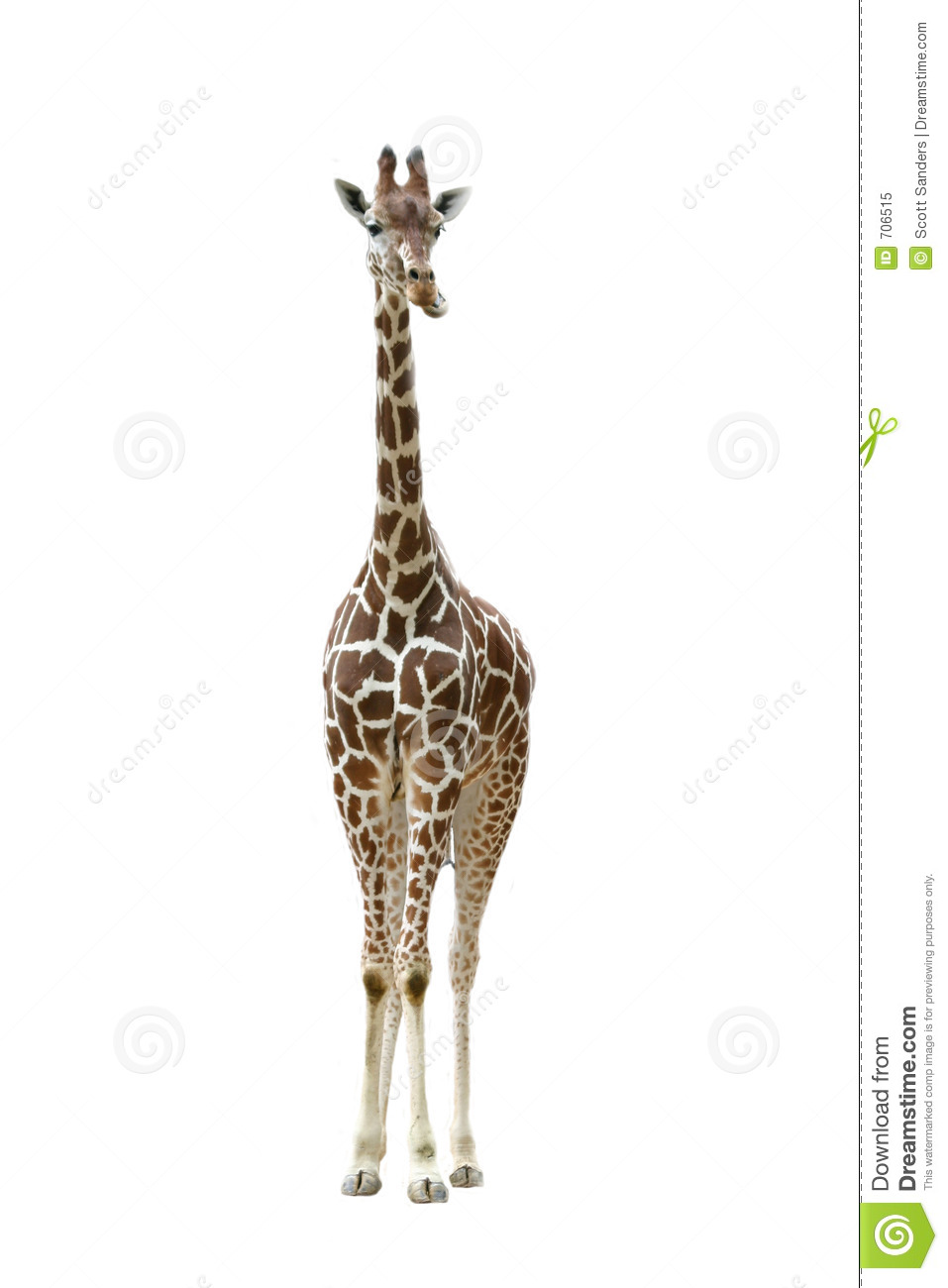 Front View Giraffe Royalty Free Stock Photo - Image: 706515