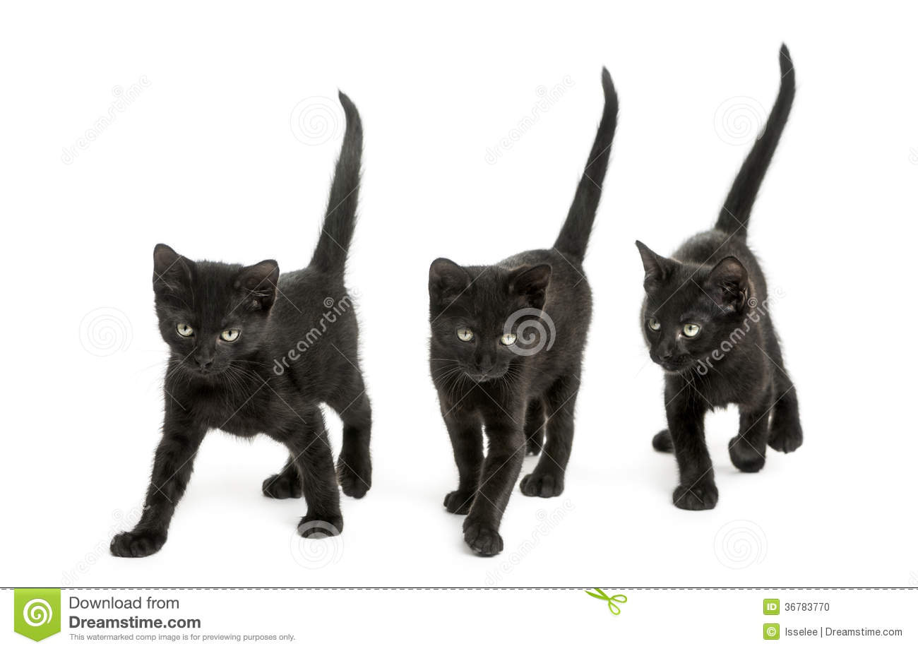 Front view of a Group of Black kitten