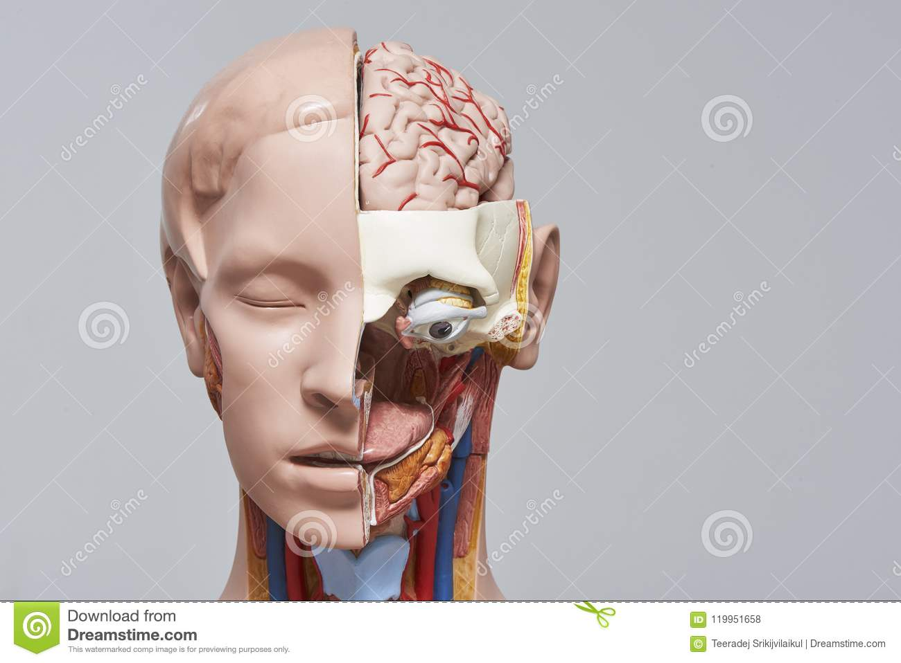 Model Of Human Head And Neck And Section Of The Organs Stock Photo