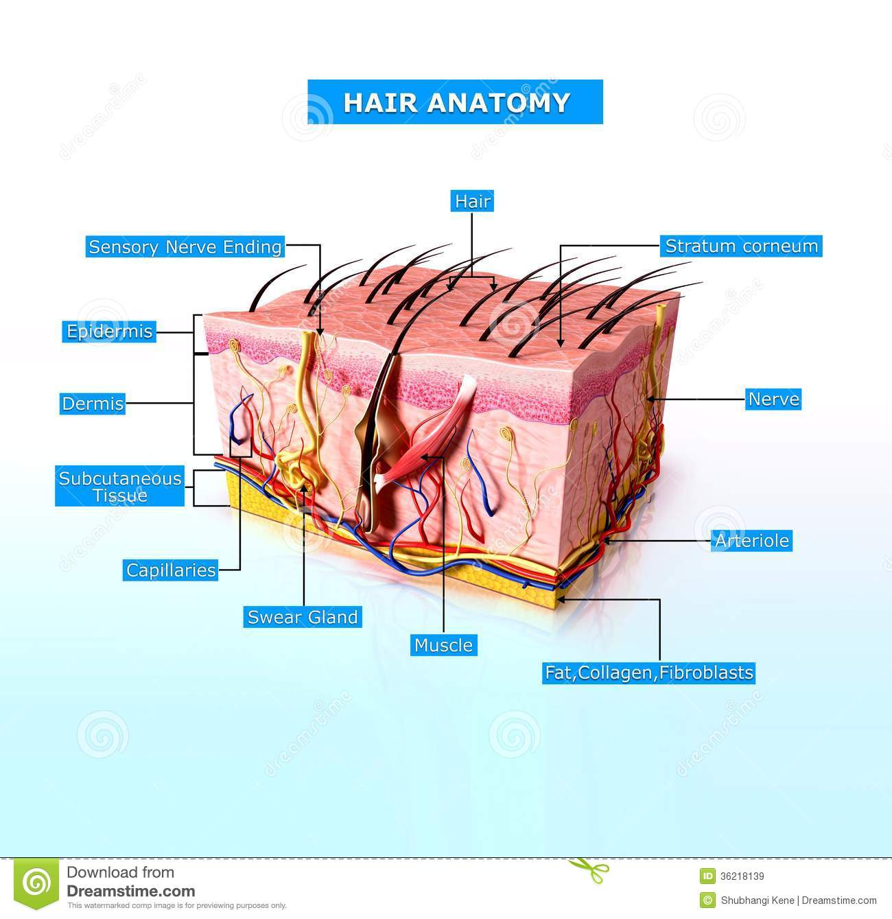Front View Of Human Skin Cutway Diagram Stock Illustration ...