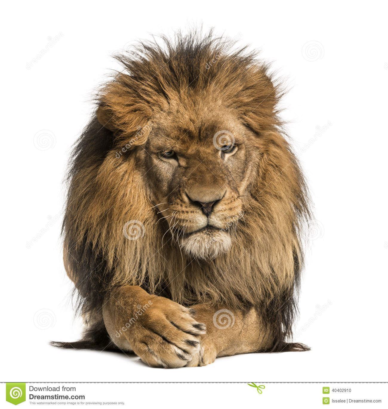 Front view of a Lion lying, crossing paws, Panthera Leo, 10 years old ...