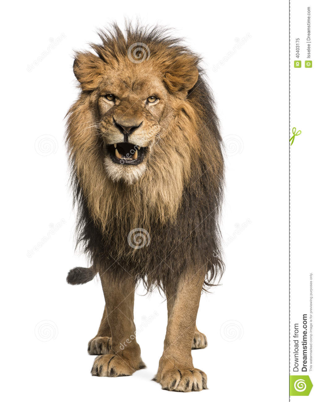 Front View Of A Lion R...