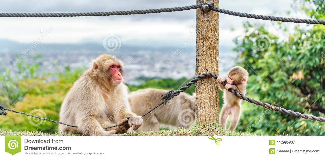 Monkeys playing in Arashiyama mountain, kyoto
