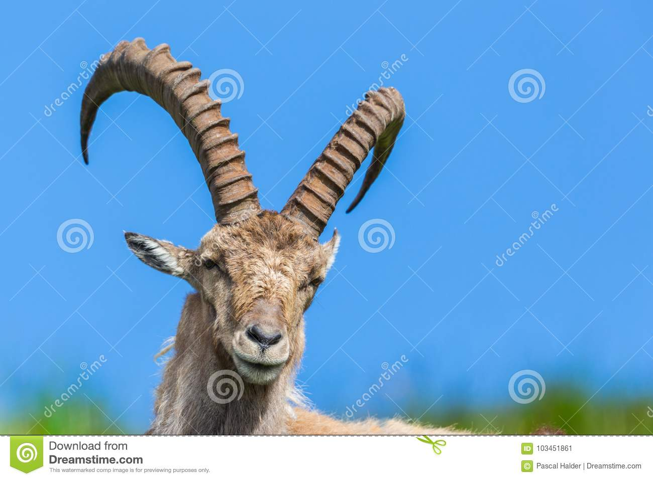 Front view natural alpine capra ibex capricorn sitting in meadow