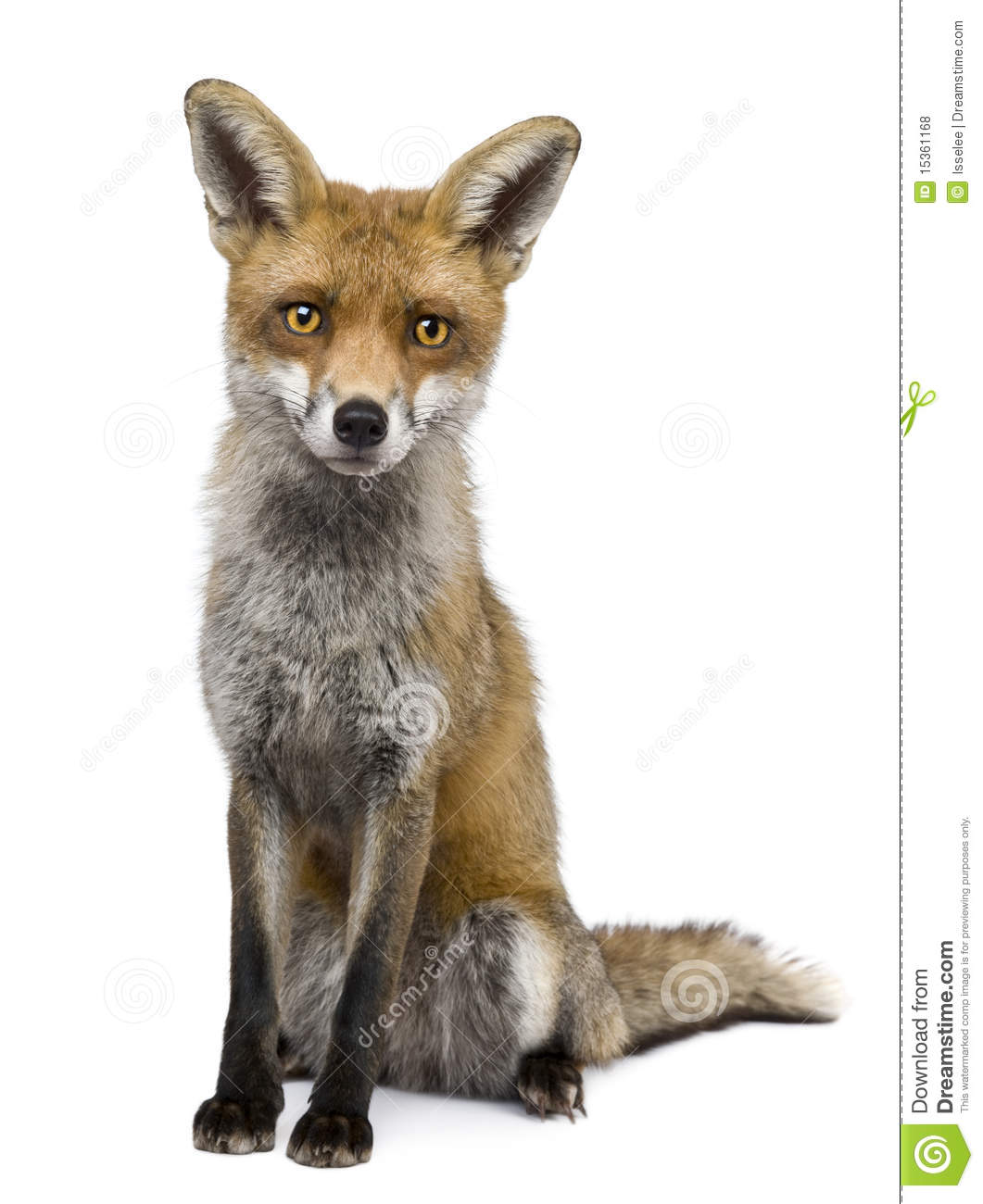 Front View Of Red Fox, 1 Year Old, Sitting Royalty Free ...