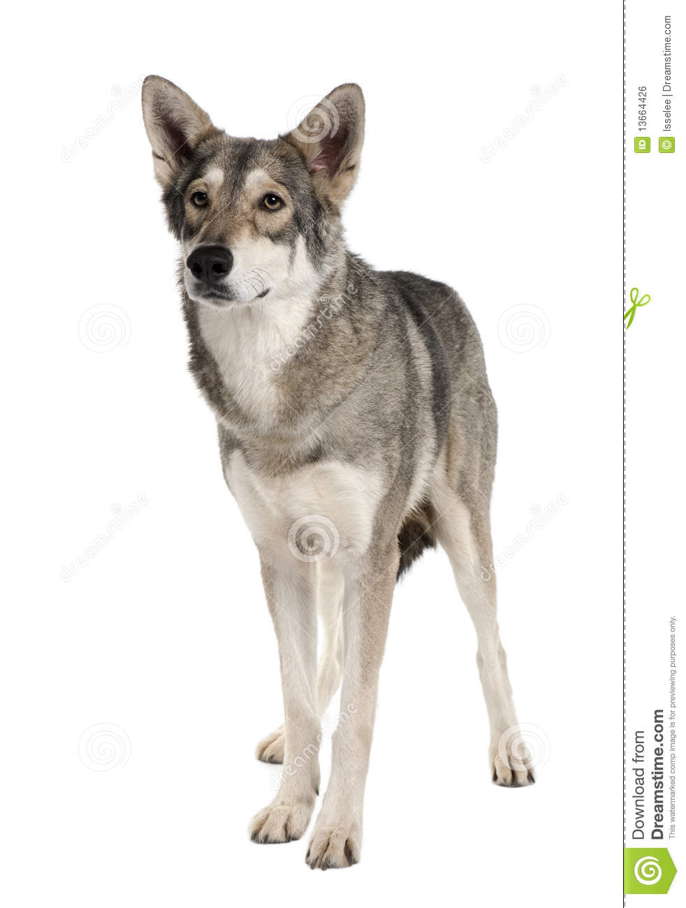 Front View Of Saarlooswolf Dog, Standing Royalty Free Stock Image ...