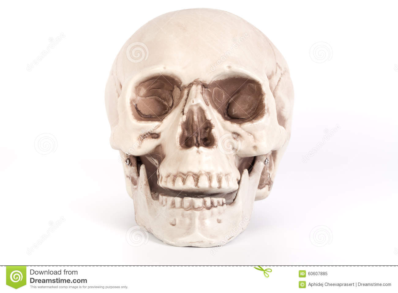 Human skull front view jaw open