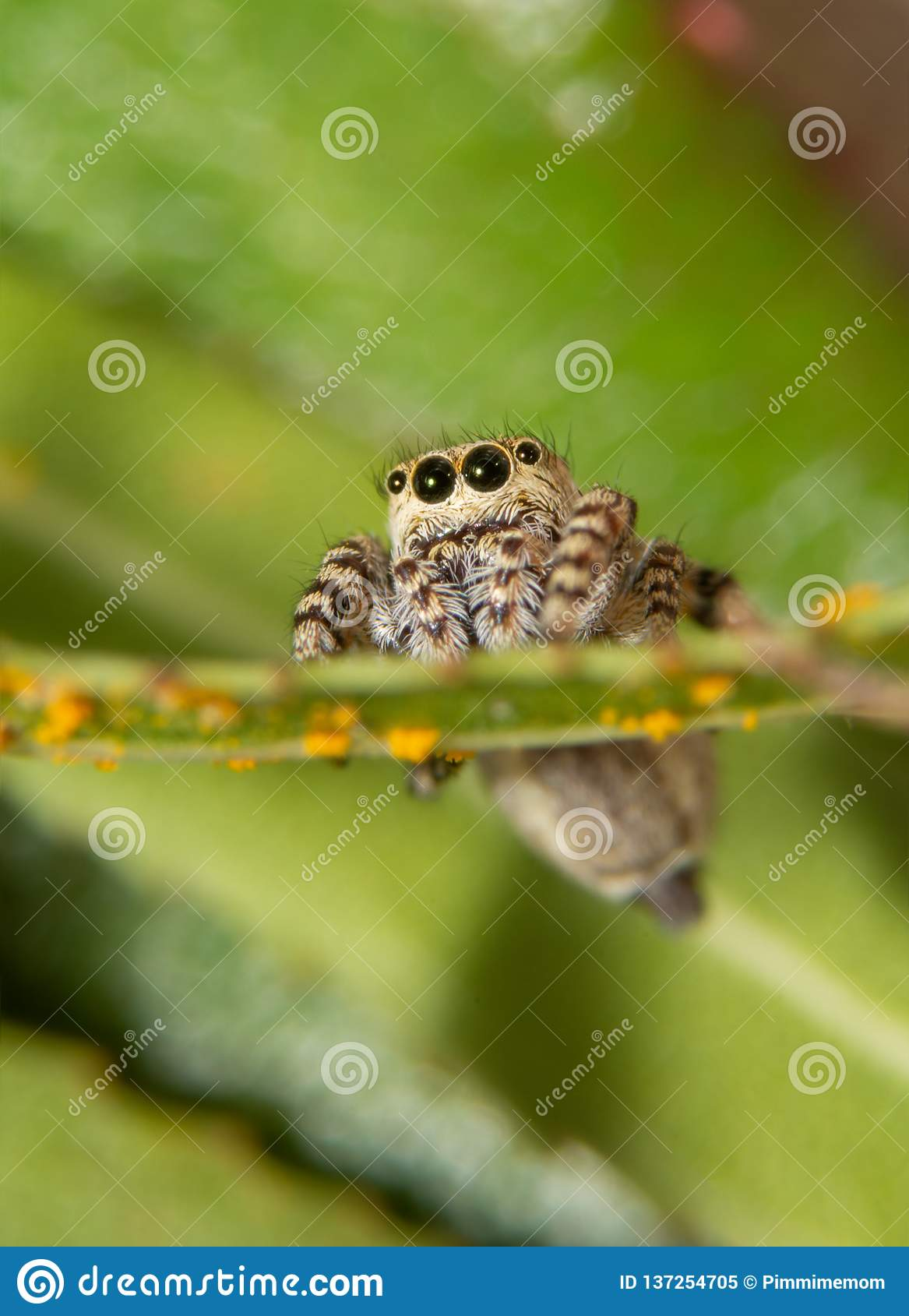 Front view of a tiny Peppered Jumper, Pelegrina galathea spider