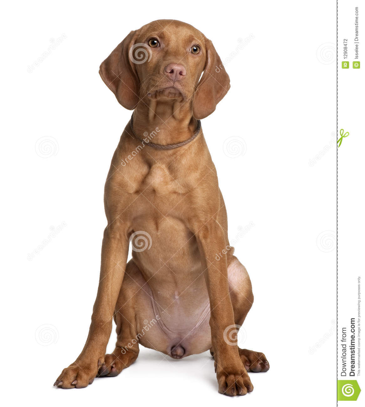 Front view of vizsla dog sitting stock photo image for Be a dog sitter