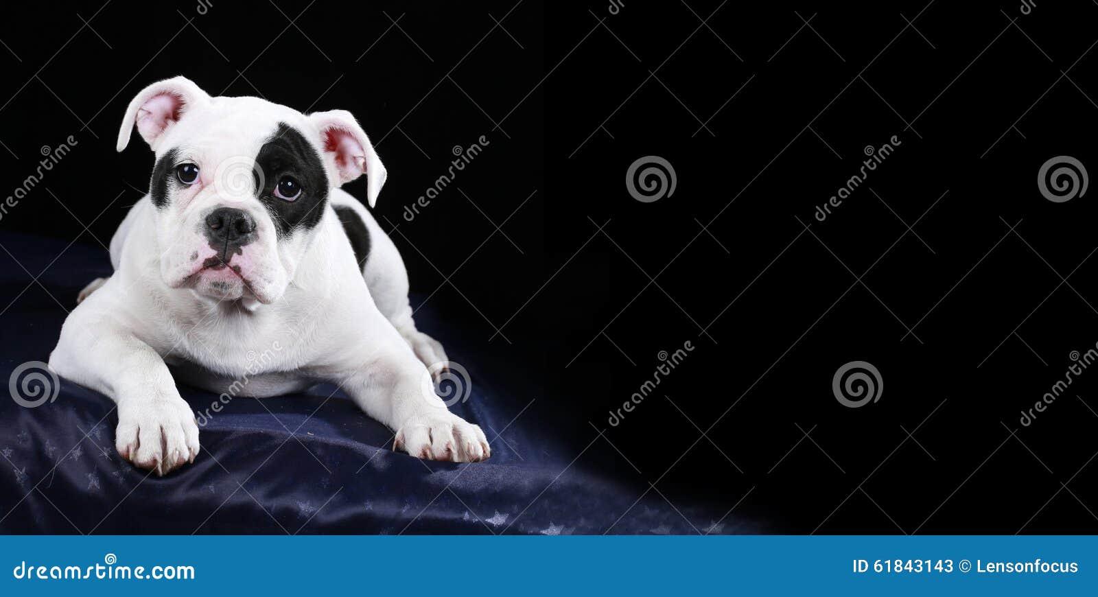 Frontal de encontro do cachorrinho inglês velho bonito do buldogue