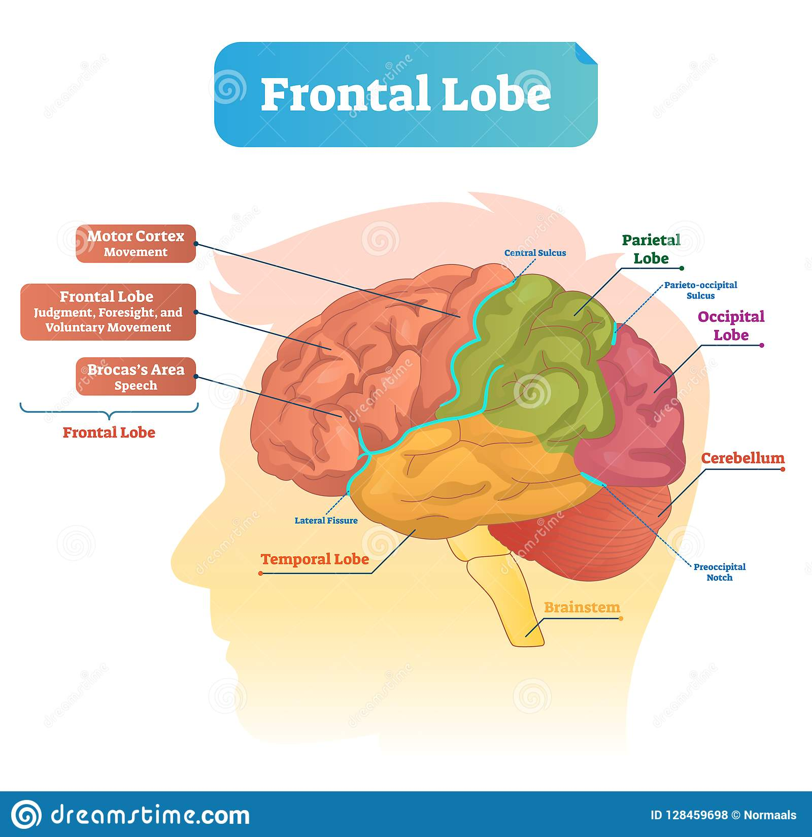 Frontal lobe vector illustration. Labeled diagram with brain part structure