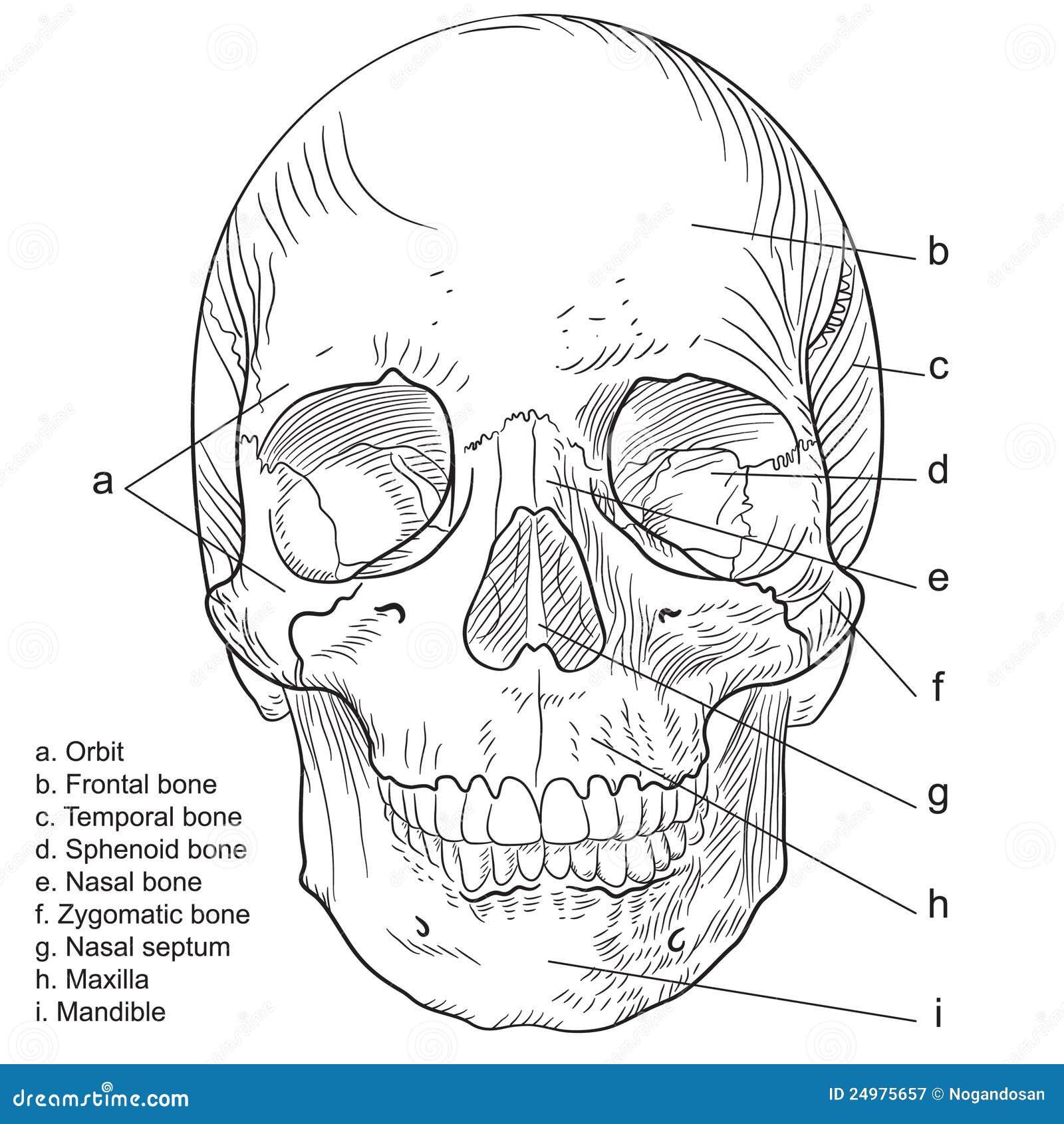 Frontal mänsklig skallevektor