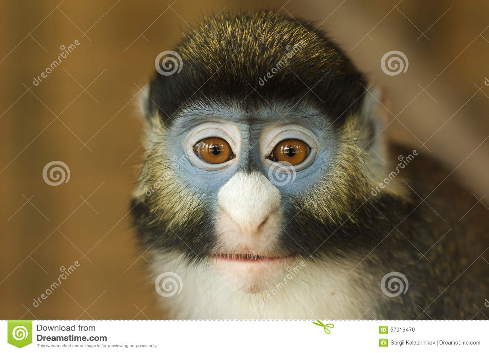 Frontal Portrait of Lesser Spot-Nosed Monkey