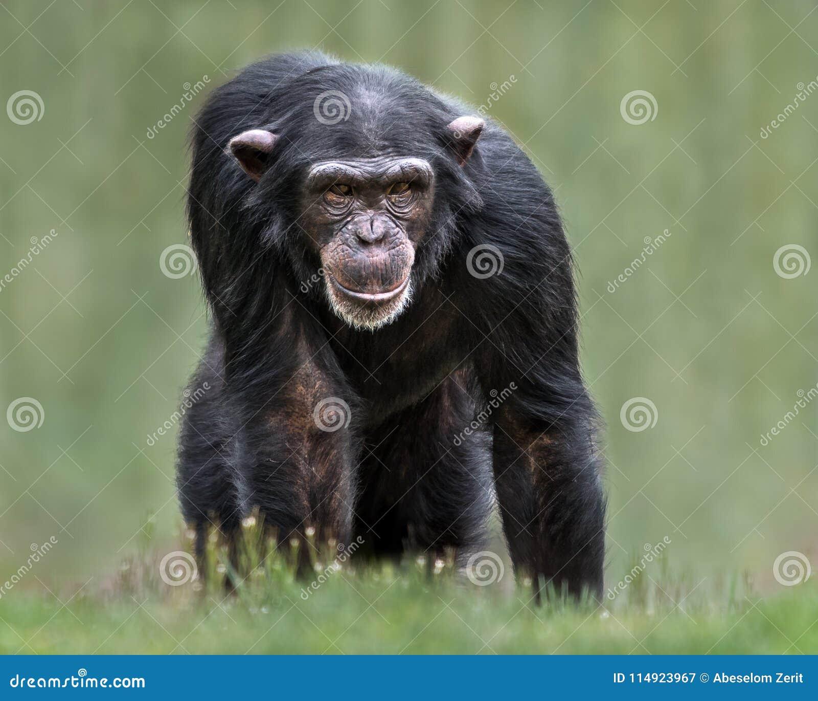 Chimpanzee XXXII
