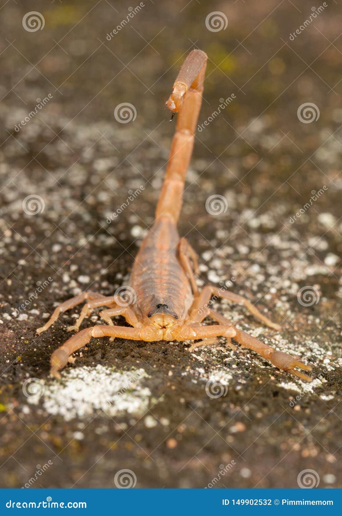 Frontale Ansicht eines gestreiften Barken-Skorpions mit seinem Stinger über seinem zurück