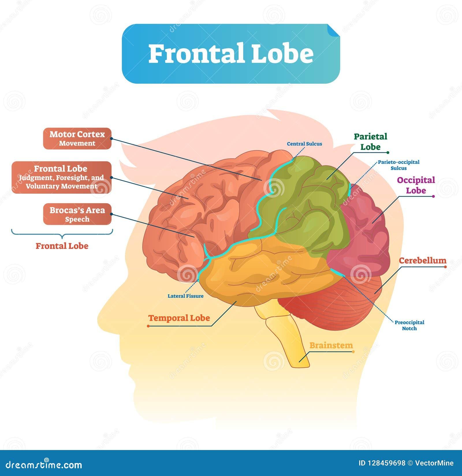 Frontale kwab vectorillustratie Geëtiketteerd diagram met de structuur van het hersenendeel