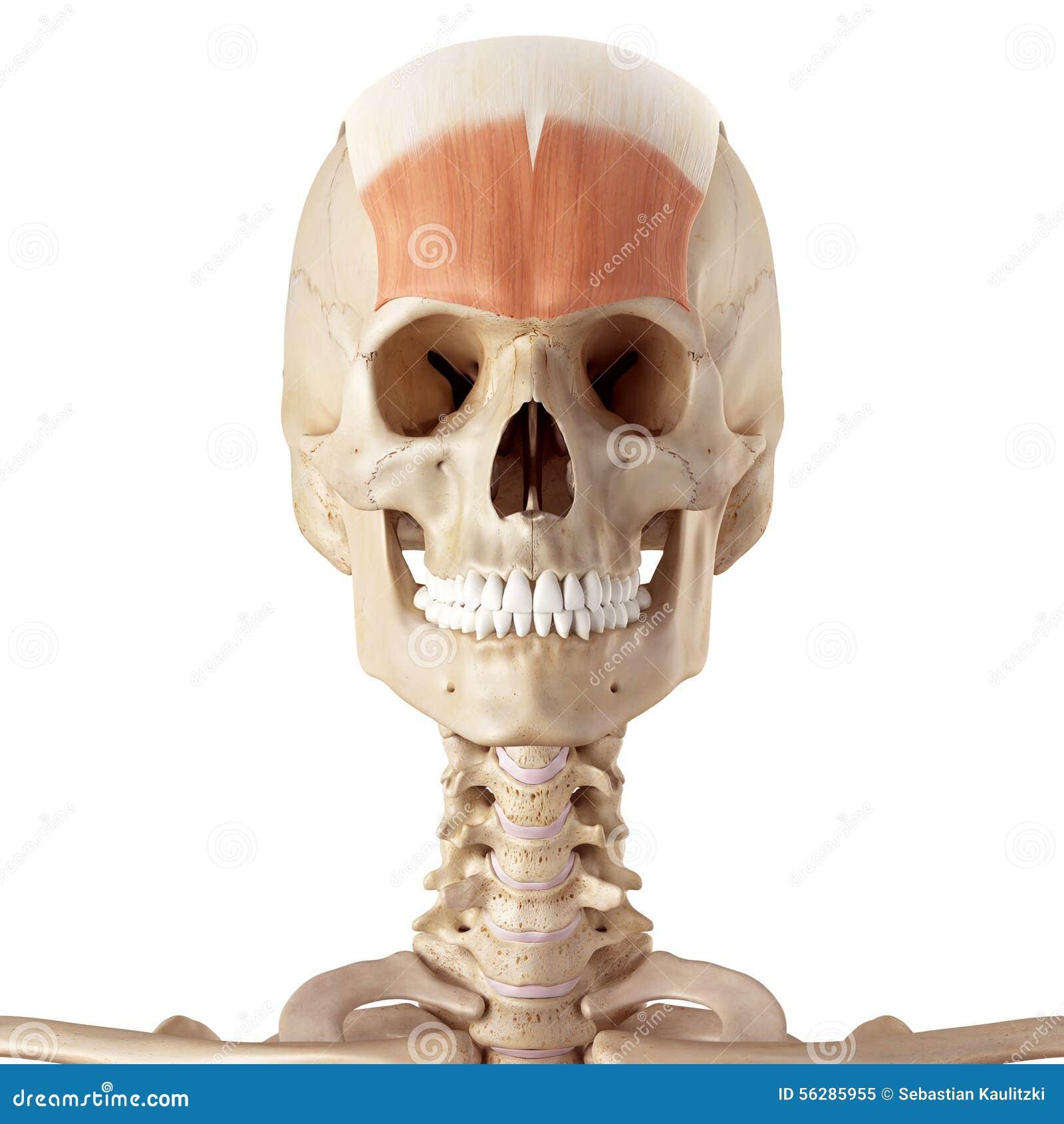 the frontalis stock illustration illustration of skull 56285955