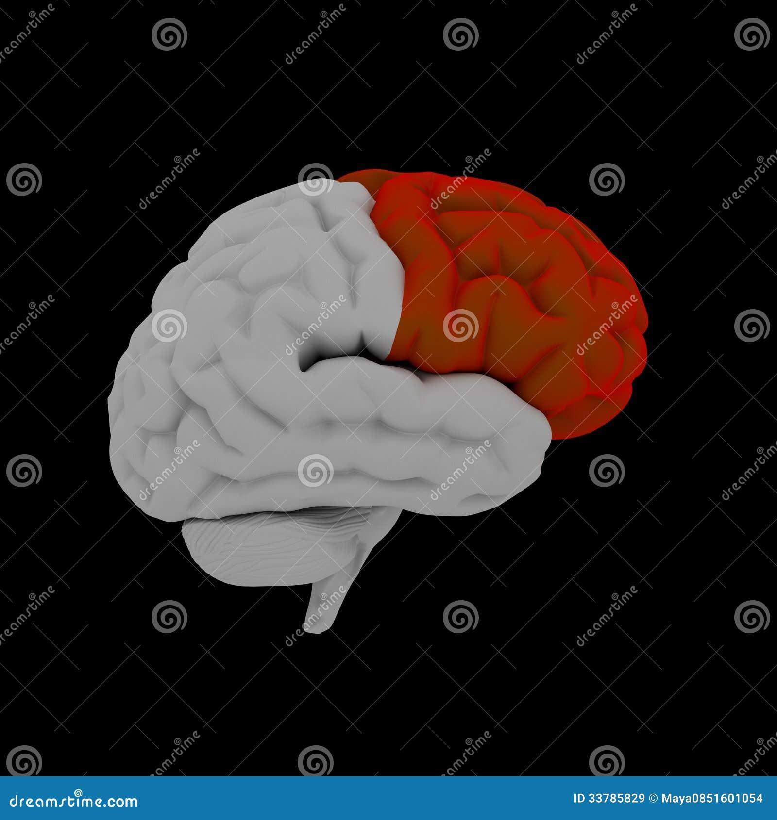 Frontallappen stock abbildung. Illustration von zerebral - 33785829