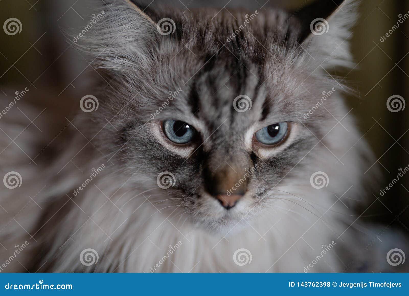 Fronte del gatto di fine di Neva Masquerade del siberiano - occhi azzurri profondi su un 1 confuso un fondo di 4 aperture