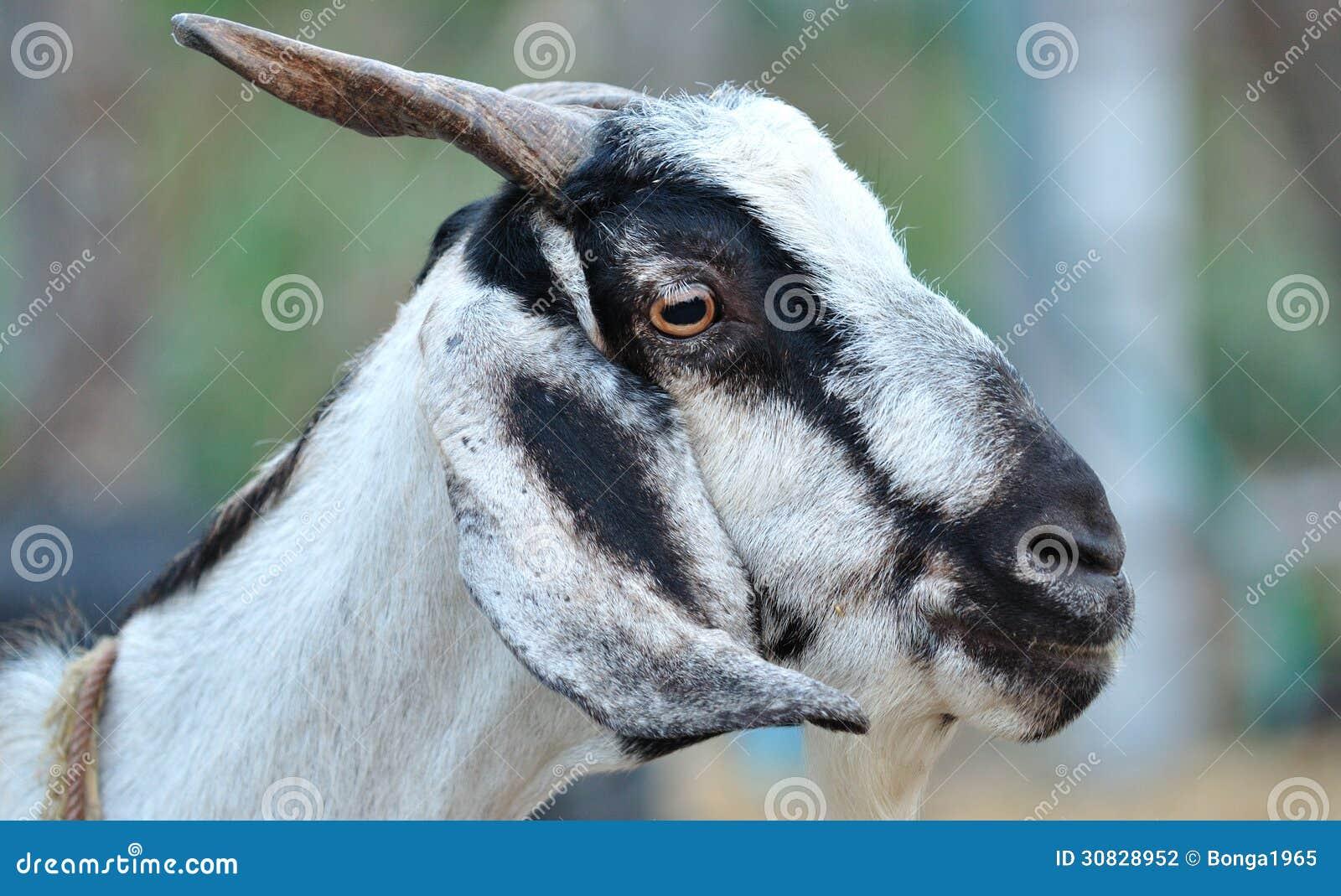 Fronte della capra