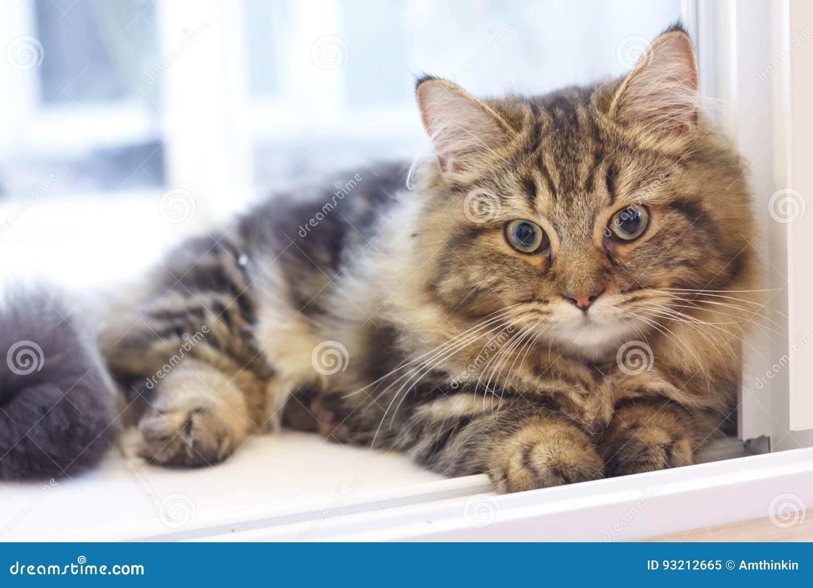 Fronte Lanuginoso Sveglio Del Primo Piano Del Gatto Persiano Marrone