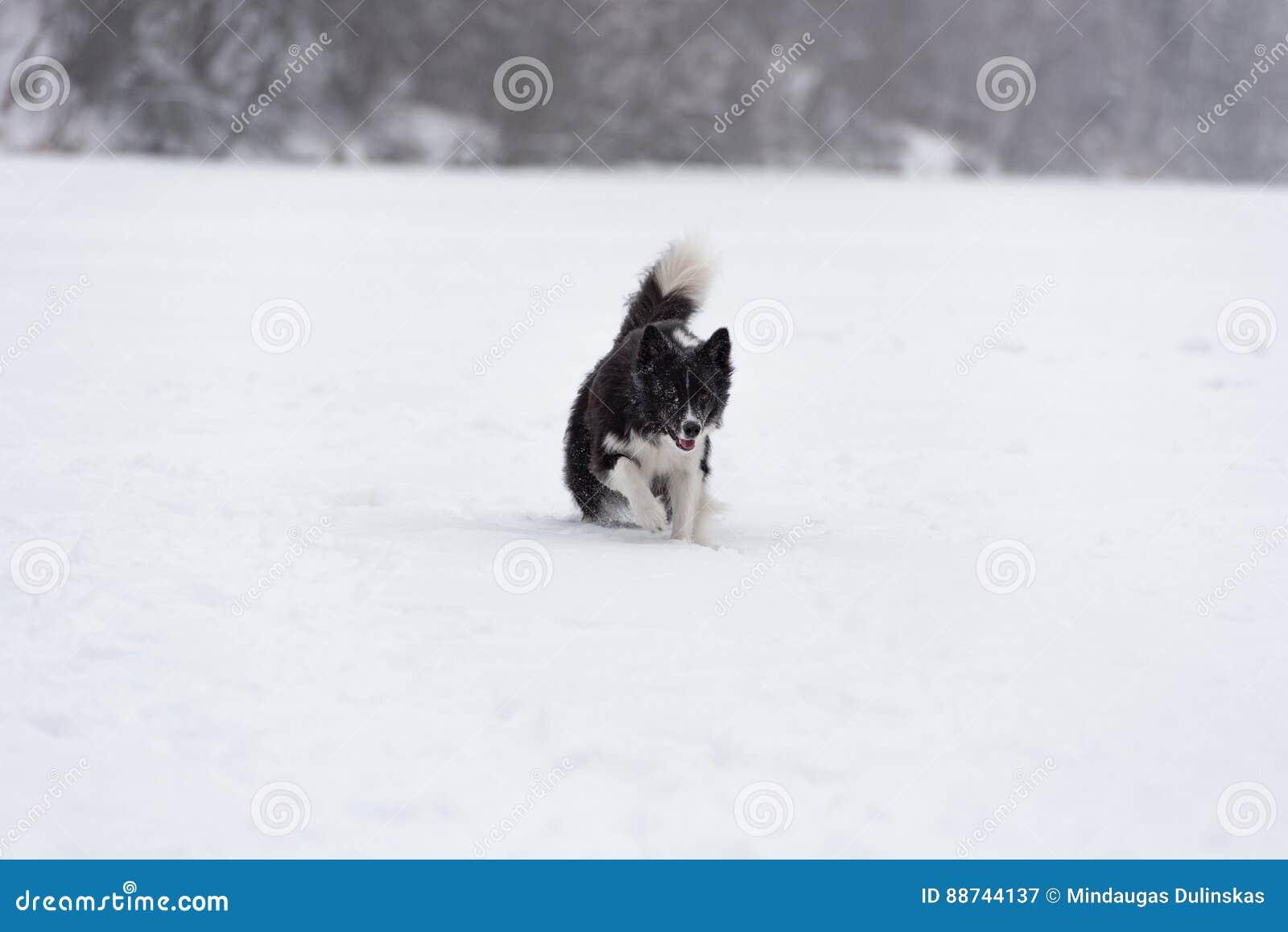 Frontière Collie Dog Running sur la neige Lac figé