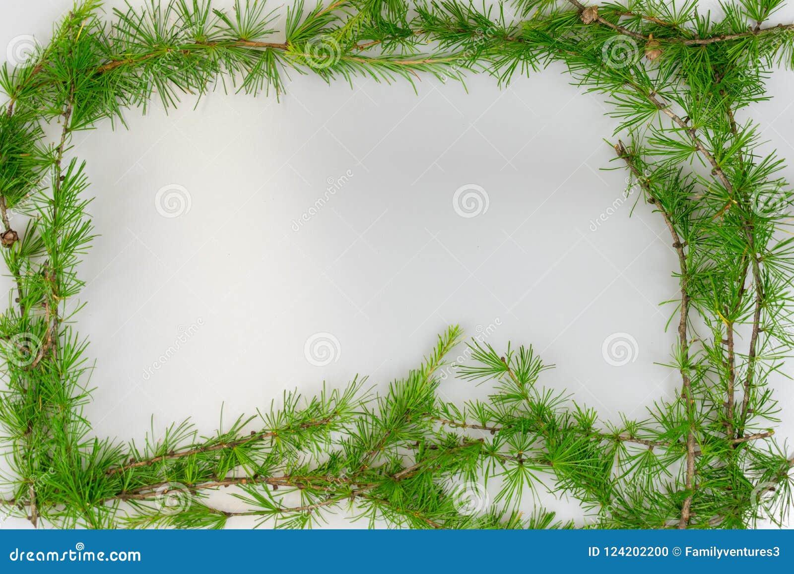 Frontière des branches de mélèze avec l espace de copie