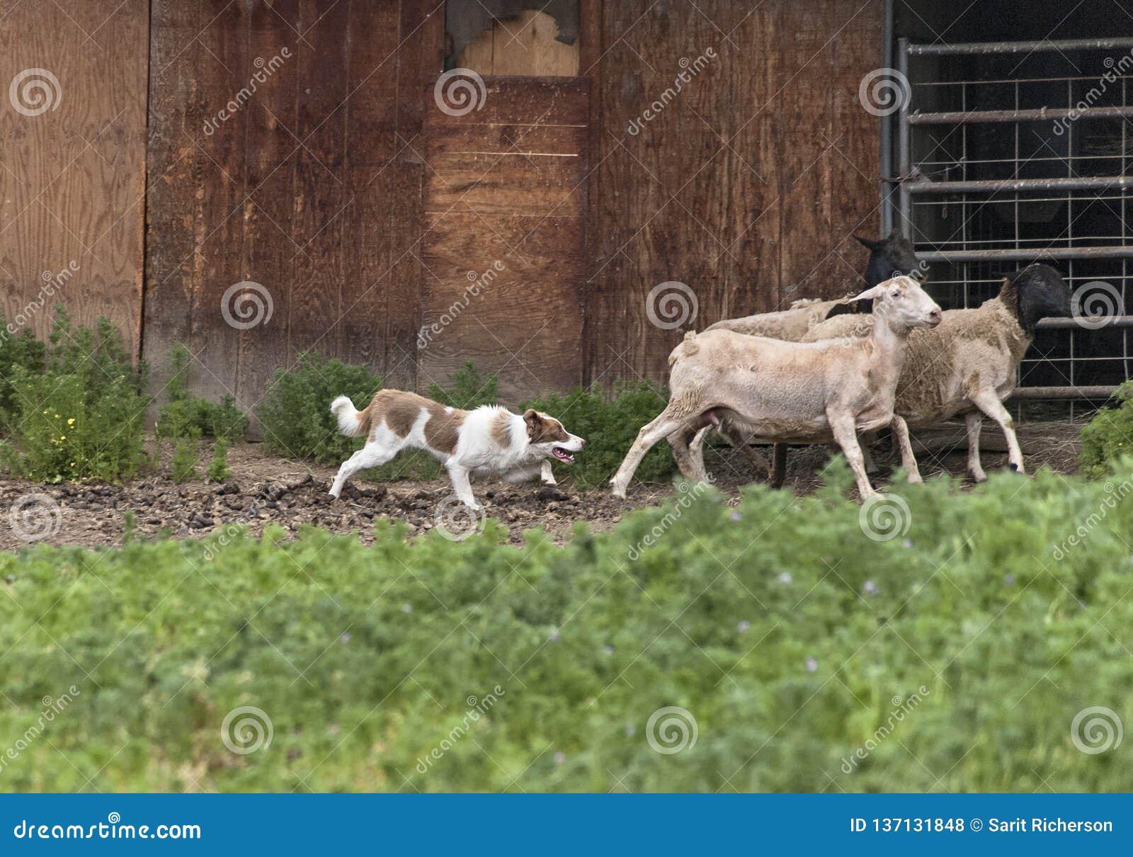 Frontière rouge Collie Herding Sheep à côté d une vieille grange