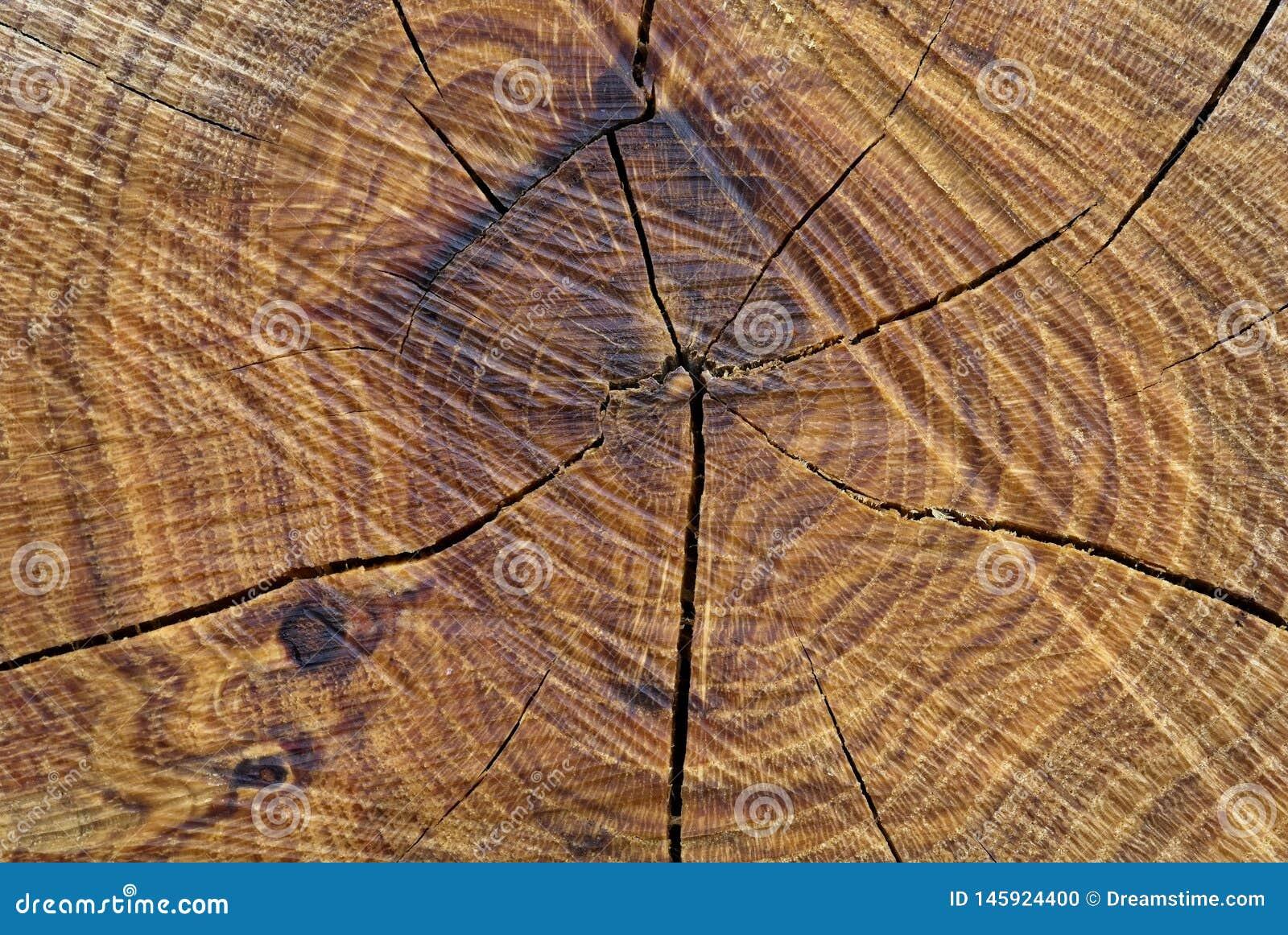 Frontowy widok cutted drzewny bagażnik