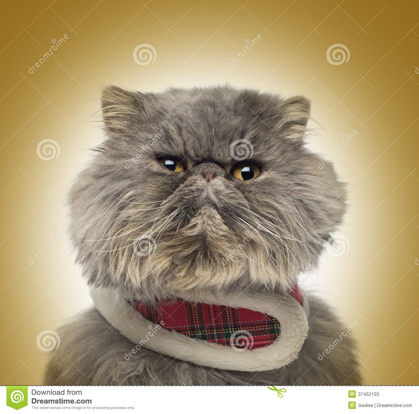 Frontowy widok gderliwy Perski kot jest ubranym tartan nicielnicę