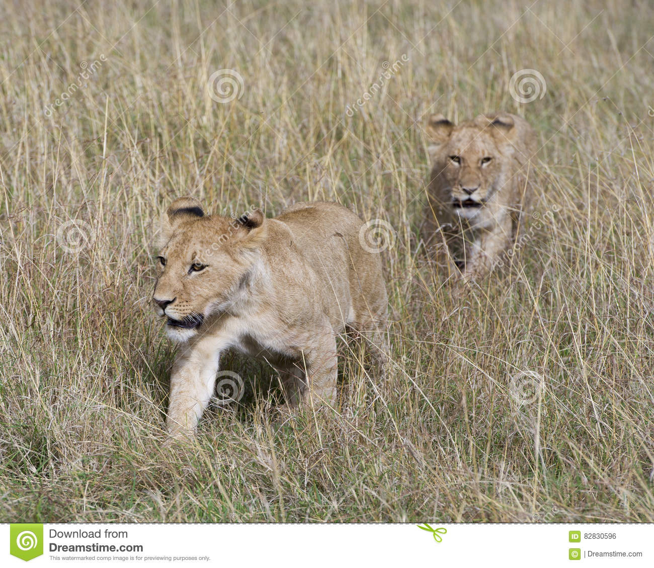 but-two-lionesses-from