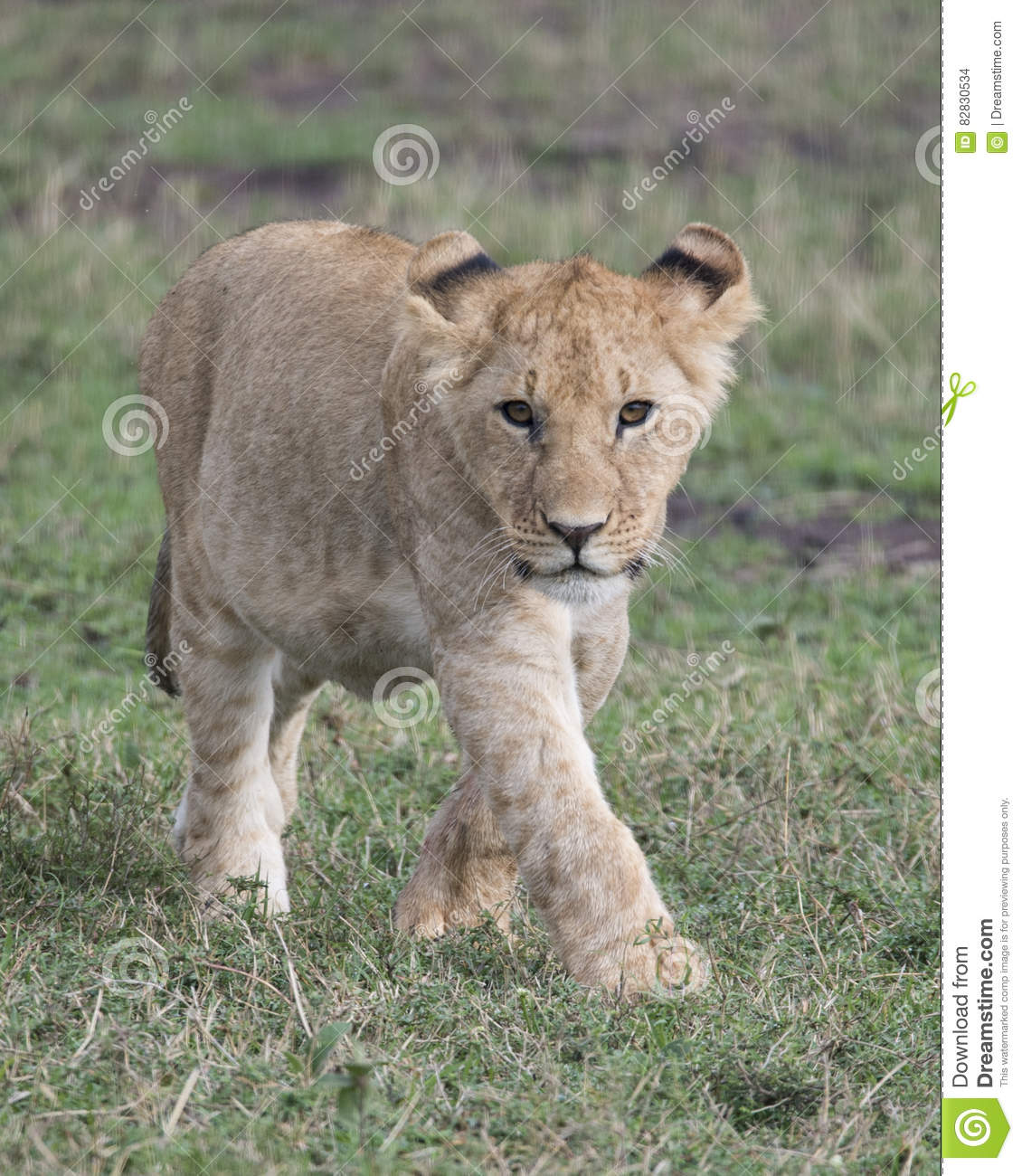 Lioness Front View Frontview Closeup Of Y...