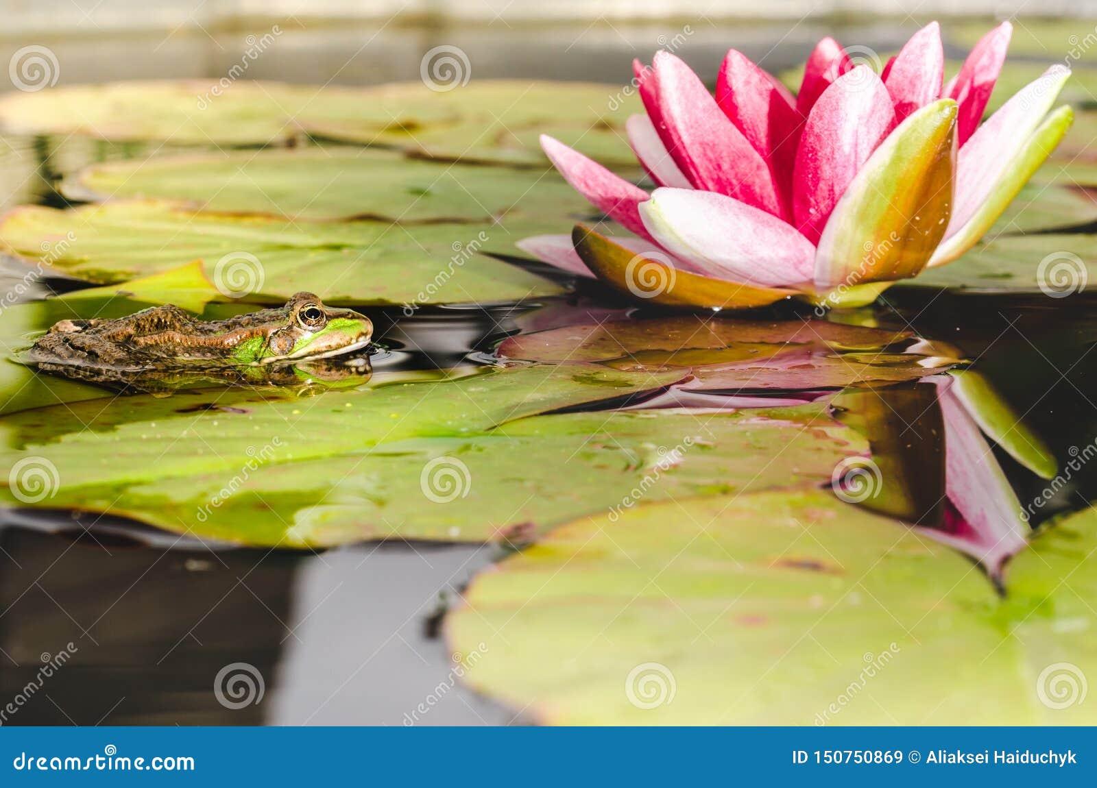 Frosch auf einem Blatt einer Seerose in einem Teich nahe einer Lilienblume Sch?ne Natur