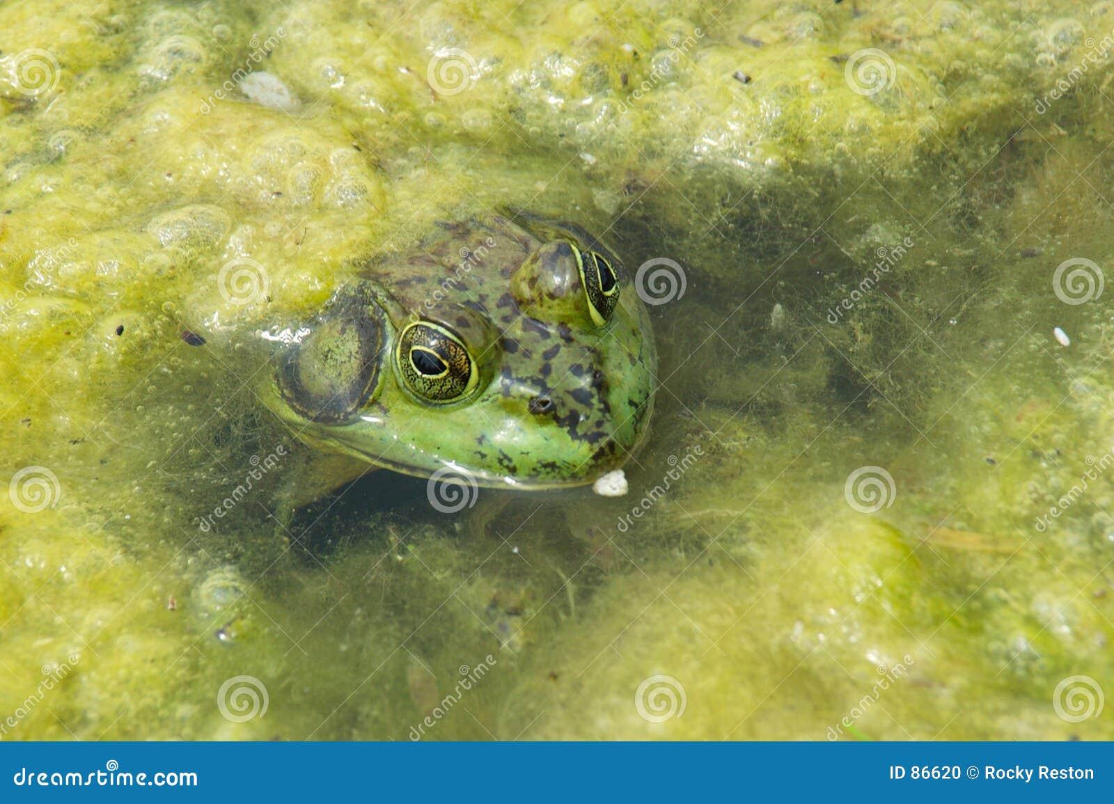 Frosch im Abschaum