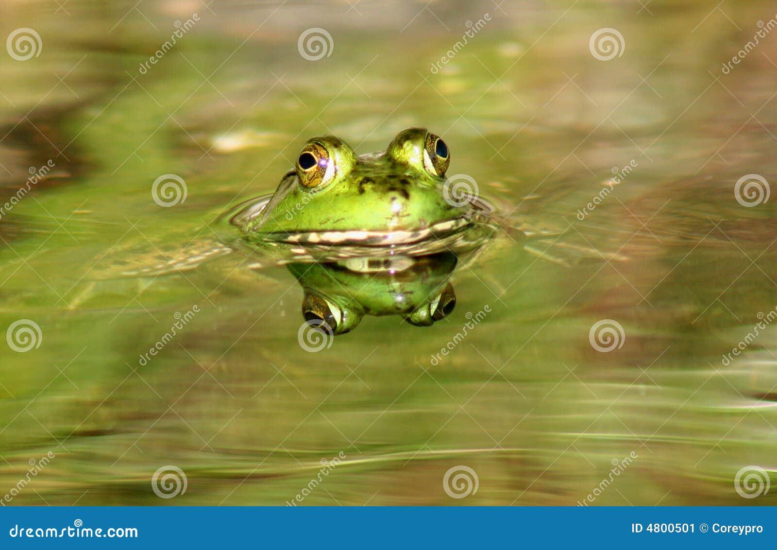 Frosch Französisch