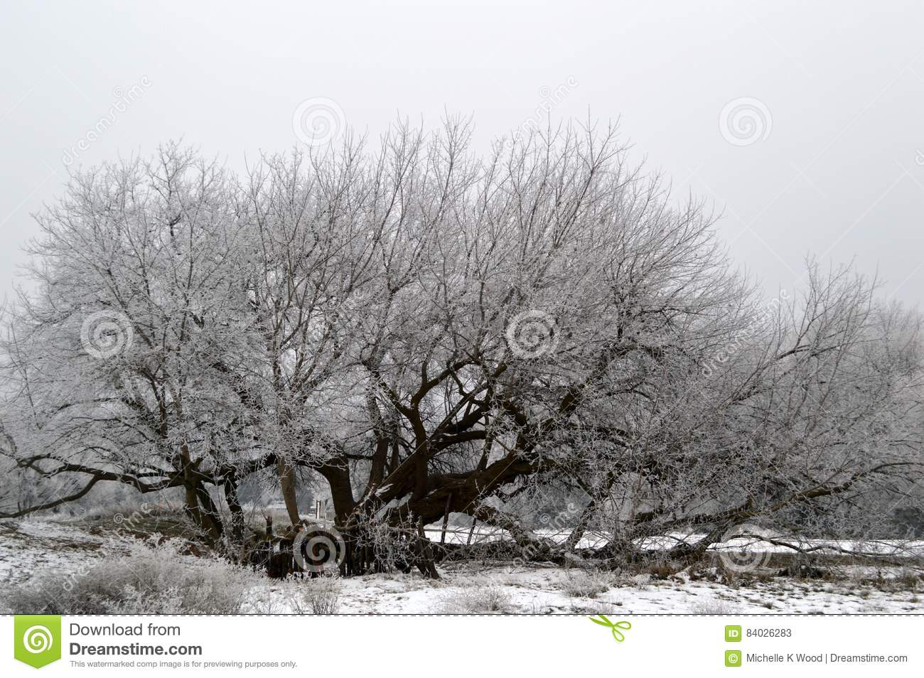 Frost covered Box Elder Tree