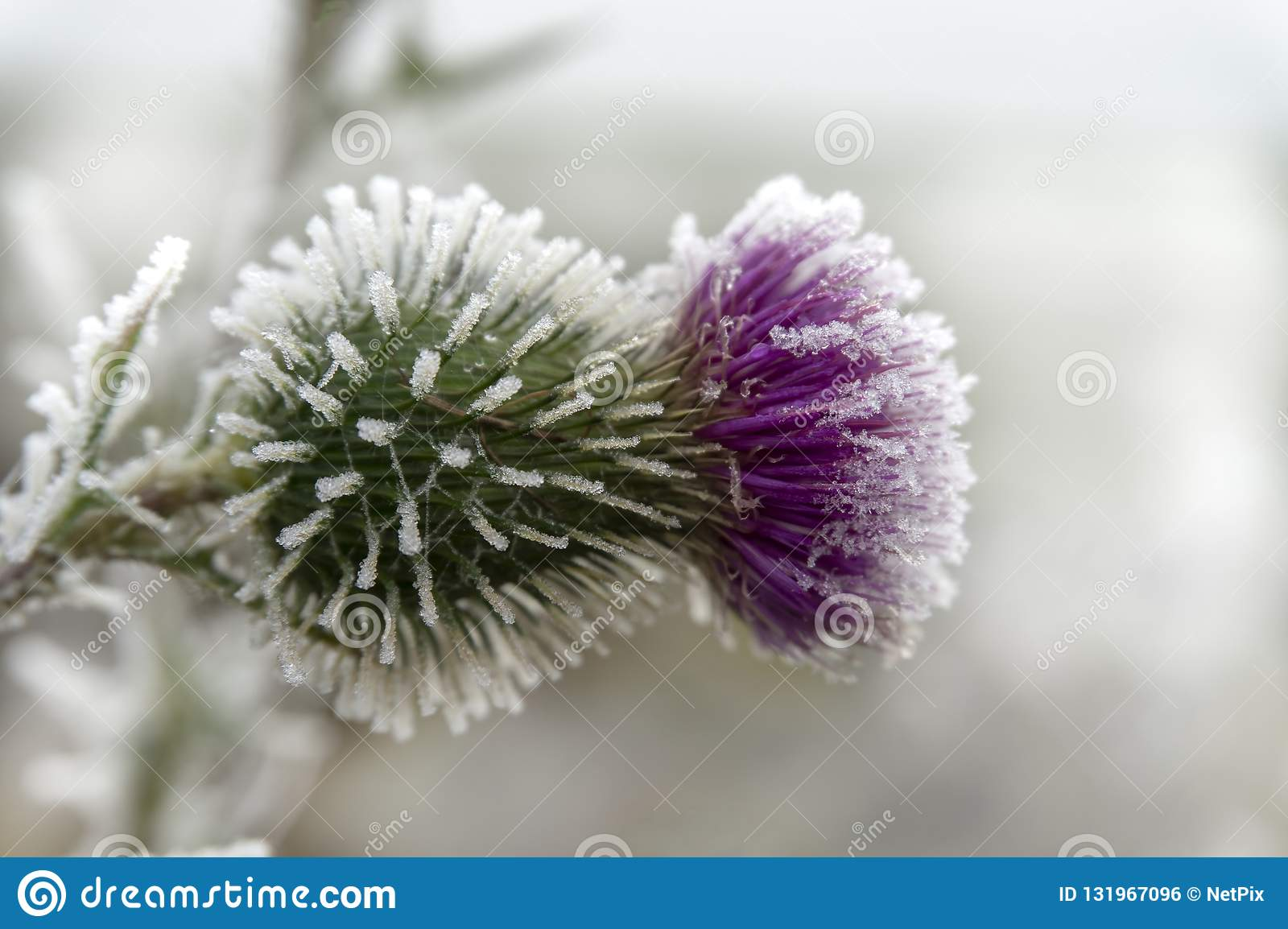 Frost covered purple thistle flower in winter