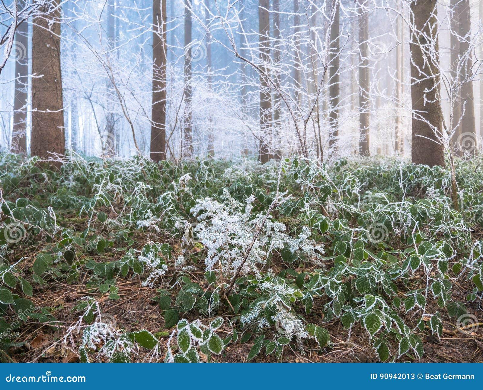 Frost dans la forêt des Alpes suisses