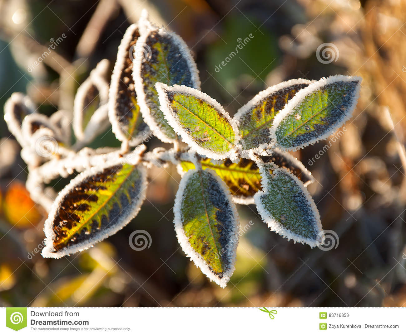 Frost On The Grass And Yellow Leaves Stock Photo