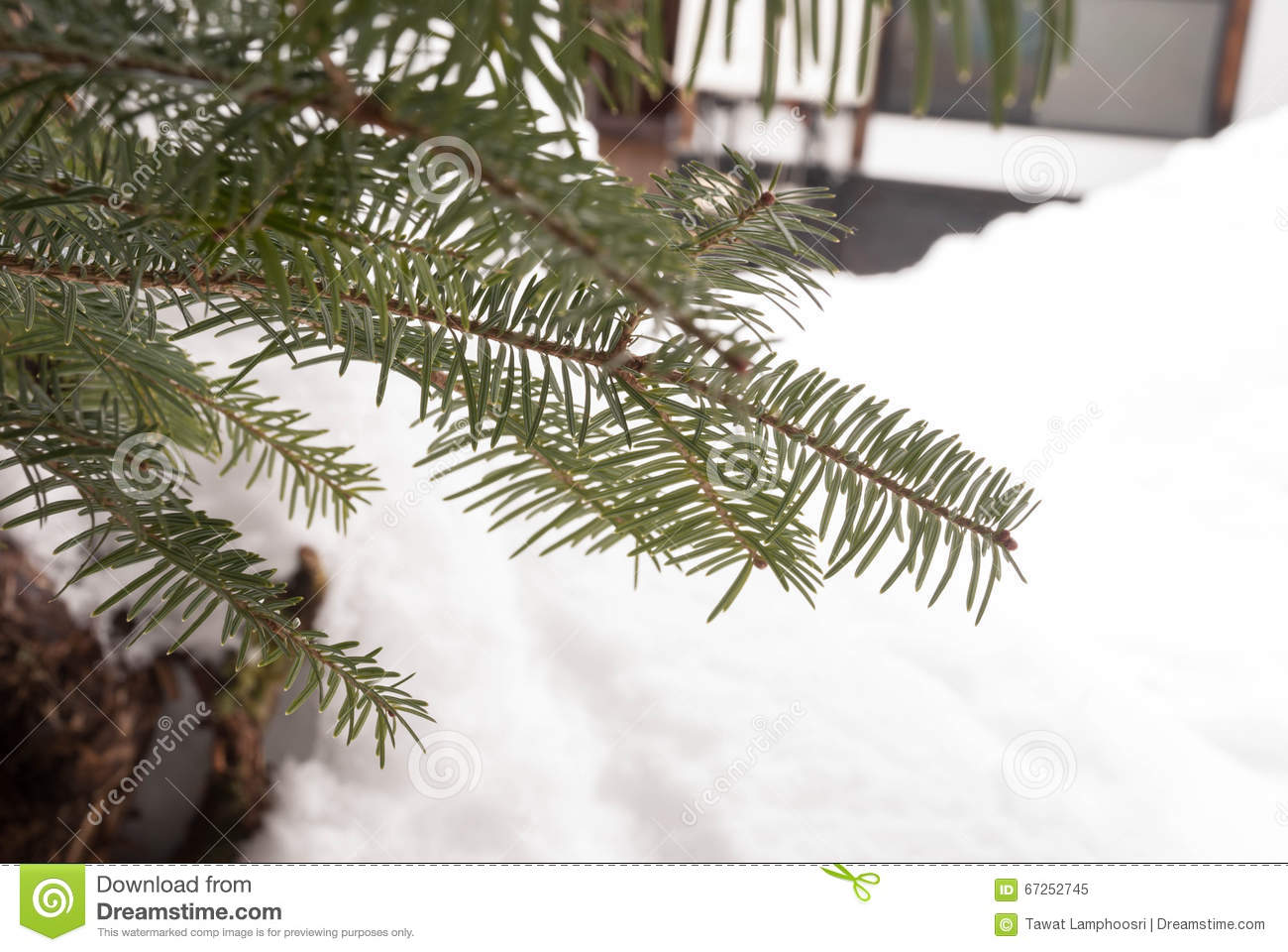 Frost on Pine stock image. Image of december, icicles - 67252745