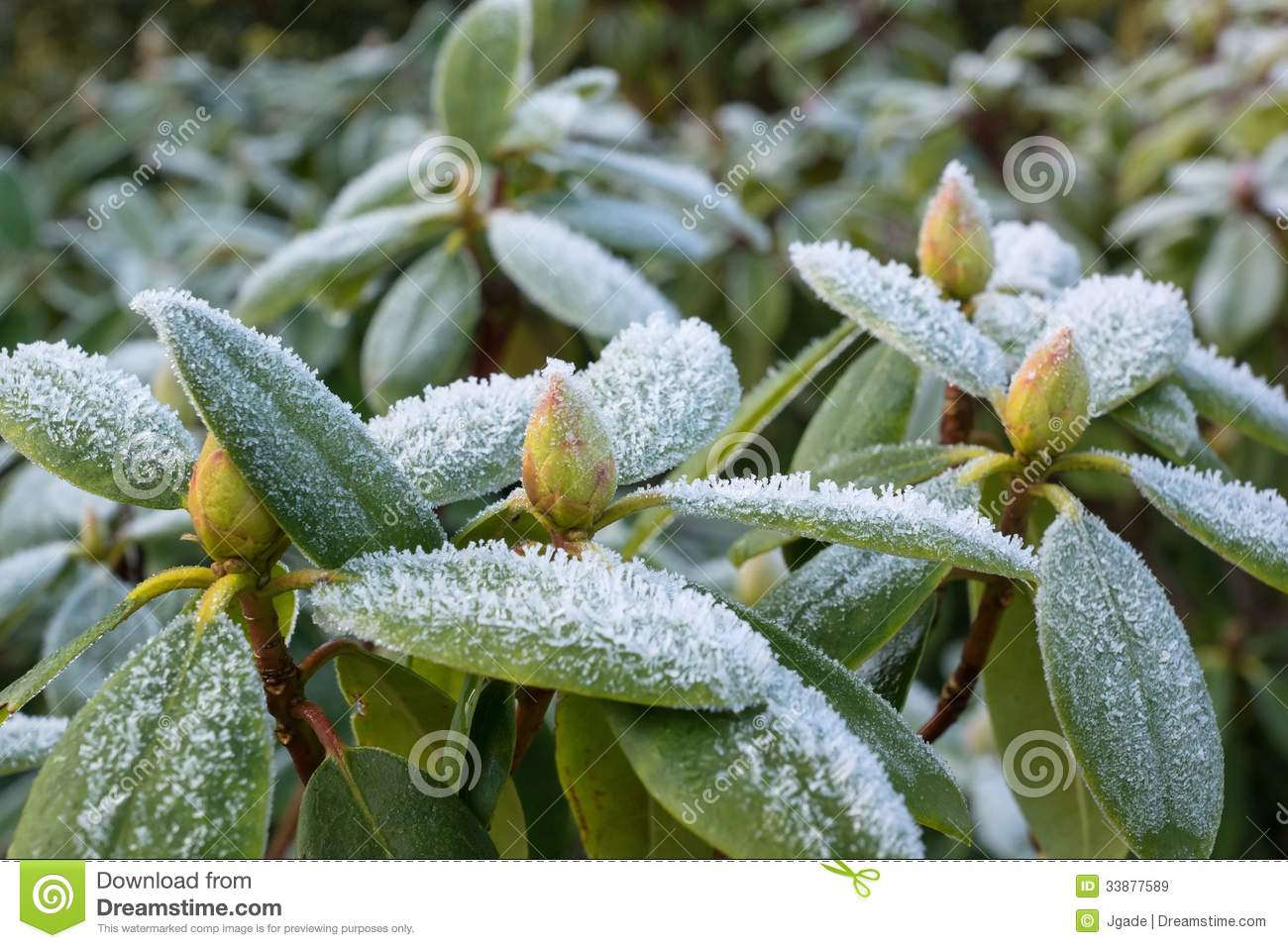Frost on Rhododendron